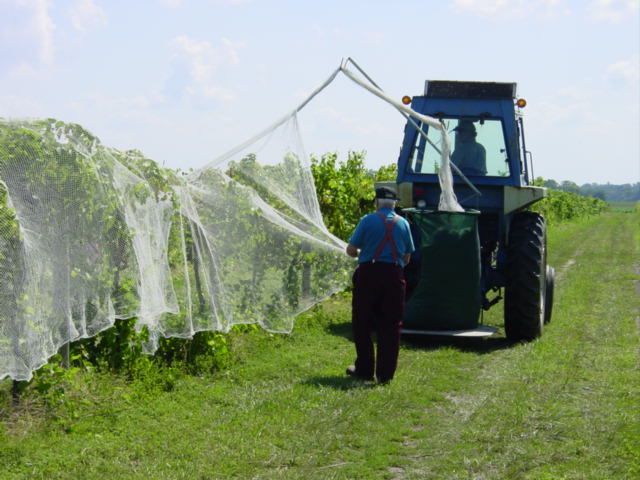 Putting netting on grapes